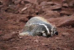 Sleeping badger Stock Photo