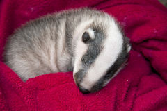 Sleeping badger baby Stock Photos
