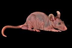 Sleeping bald  rat Stock Image