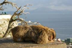 Sleeping Barbary Macaque. O a ledge in the 'Apes Den', Gibraltar. Morocco and the sea in the distance Stock Photos