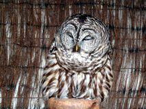 Sleeping Barred Owl Royalty Free Stock Image