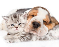 Sleeping Basset hound puppy hugging tabby kitten. isolated. On white royalty free stock photo