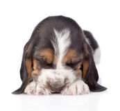 Sleeping Basset hound puppy lying in front. isolated on white Stock Photos