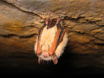 Sleeping bat Royalty Free Stock Photos