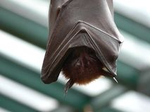 Sleeping bat Stock Image