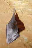 Sleeping bat in cave Royalty Free Stock Photo