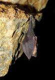 Sleeping bat in cave Royalty Free Stock Photo