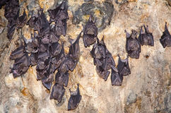 Sleeping bats on the cave wall of Bali. Royalty Free Stock Photography