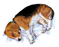 Sleeping Beagle Stock Photos