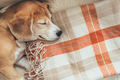 Sleeping beagle on cozy covers royalty free stock photography