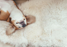 Sleeping beagle dog lies on the fur coverlet on sofa Royalty Free Stock Photo