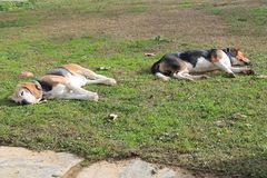 Sleeping Beagles, relax, no stress in this family. After a hard day, these dogs know how to relax at home, trust the world, no coaching or psychologist stock image