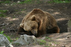 Sleeping bear Stock Image
