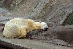 Sleeping bear Royalty Free Stock Photo
