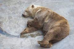 Sleeping bear. Big brown bear sleeping on a rock Stock Image