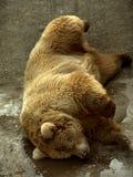 Sleeping bear. Funny sleeping bear Stock Images