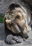 Sleeping bear 1 Royalty Free Stock Photo