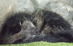 Sleeping bear cat curled up Royalty Free Stock Photography