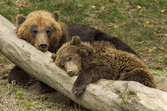 Sleeping bear cub Stock Photo