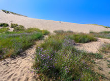 Sleeping Bear Dunes National Lakeshore. Purple Wildflowers at the foot of the main climbing dune at the entrance to the Sleeping Bear Dunes National Lakeshore Royalty Free Stock Photos