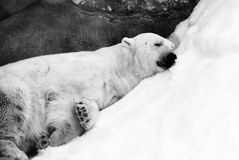 Sleeping bear portrait. Black and white photo. Stock Photography