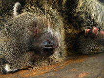 Sleeping Bearcat Stock Photo