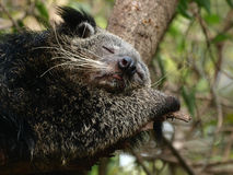 Sleeping Bearcat Royalty Free Stock Photos