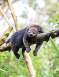 Sleeping bearcat Stock Photos