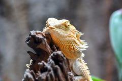 Sleeping bearded dragon Royalty Free Stock Photo