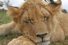 Sleeping Beast stock image