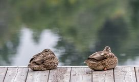 Sleeping Beauties, Mallard Ducks Twins on a Pier Taking a Nap. stock photography