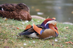 Sleeping beauty. Duck sleeping on a small lake Royalty Free Stock Images