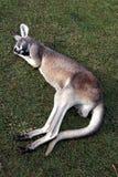Sleeping beauty. A kangaroo is having an afternoon beauty sleep Stock Image