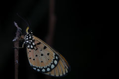 Sleeping beauty. Night Macro of Butterfly resting with black background Stock Images