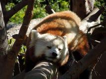Sleeping Beauty. Red Panda sleeping peacefully on tree branch Stock Photography