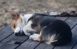 Sleeping beauty. Welsh corgi puppy sleeping in the sun Royalty Free Stock Image