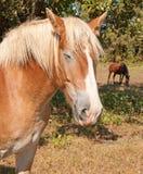 Sleeping Belgian Draft horse Stock Photo