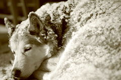 Sleeping Beneath a Blanket of Snow Royalty Free Stock Images