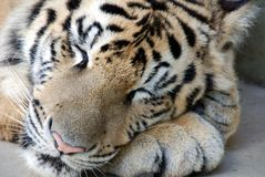 Sleeping Bengal Tiger Royalty Free Stock Images