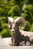 Sleeping Big Horned Sheep Royalty Free Stock Photos