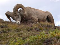 Sleeping Bighorn Sheep. Bighorn Sheep (Ovis canadensis) asleep at Wilcox Pass, Jasper National Park, Alberta, Canada Royalty Free Stock Photography