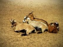 Sleeping Billy Goats Stock Photo