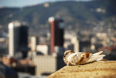 Sleeping bird in urban landscape. Image taken in Barcelona, Spain Royalty Free Stock Photos