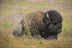 Sleeping Bison. Close up photo of an American Bison sleeping on a grassy plain Royalty Free Stock Image