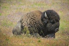 Sleeping Bison Royalty Free Stock Image