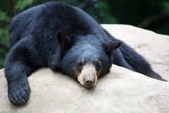 Sleeping Black Bear Royalty Free Stock Image