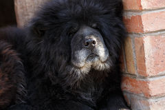 Sleeping black Chow Chow Royalty Free Stock Images