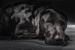 Sleeping black labrador in studio. With grey background Stock Image