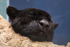 Sleeping black panther. The detail of upper body of sleeping black panther Royalty Free Stock Images
