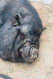 Sleeping black pig Stock Photos